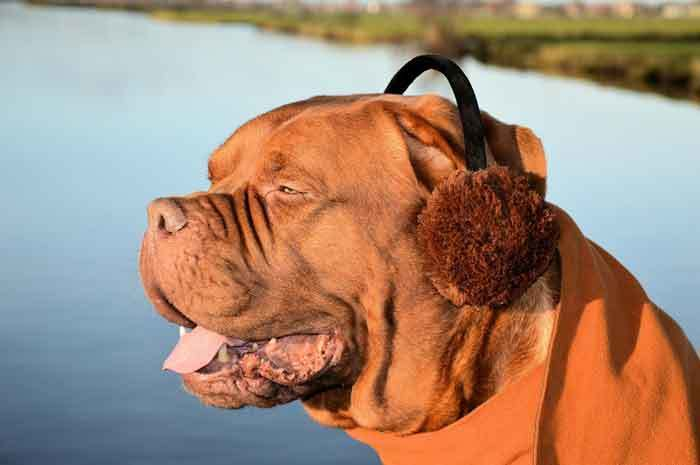 dog-with-earmuffs