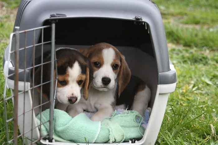 beagles-in-soundproof-crate