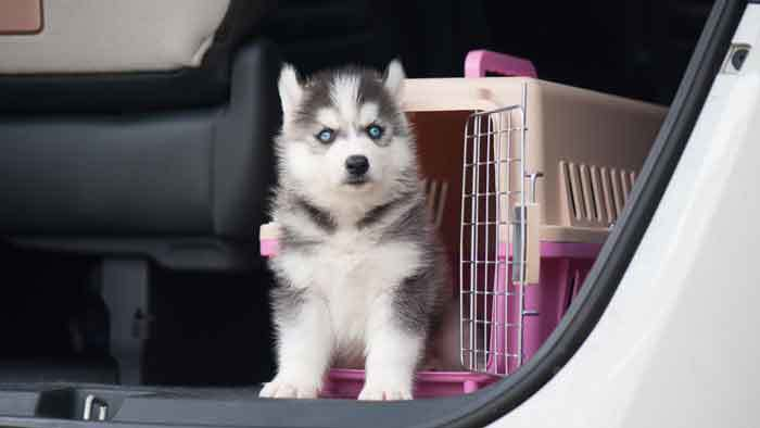 husky-staying-in-crate